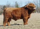 Vintage Hill Highland Cattle